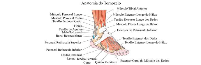 Anatomia dos Membros Inferiores: Tornozelo
