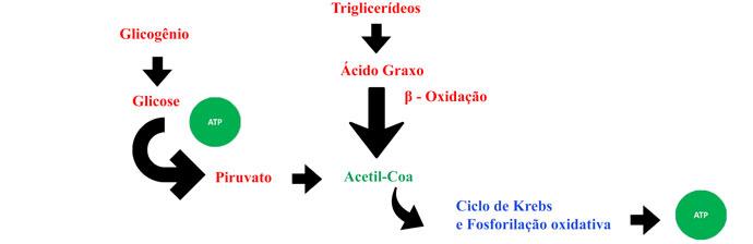 Figura 1 - Metabolismo