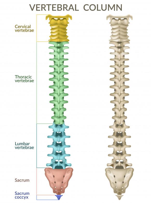 anatomia-coluna-vertebral