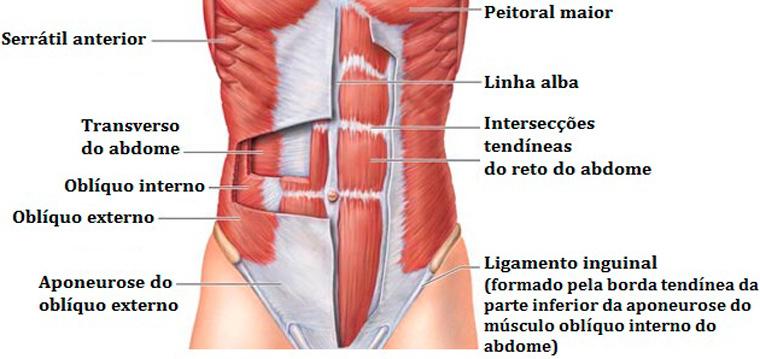 01musculatura-abdominal - tipos de abdominais
